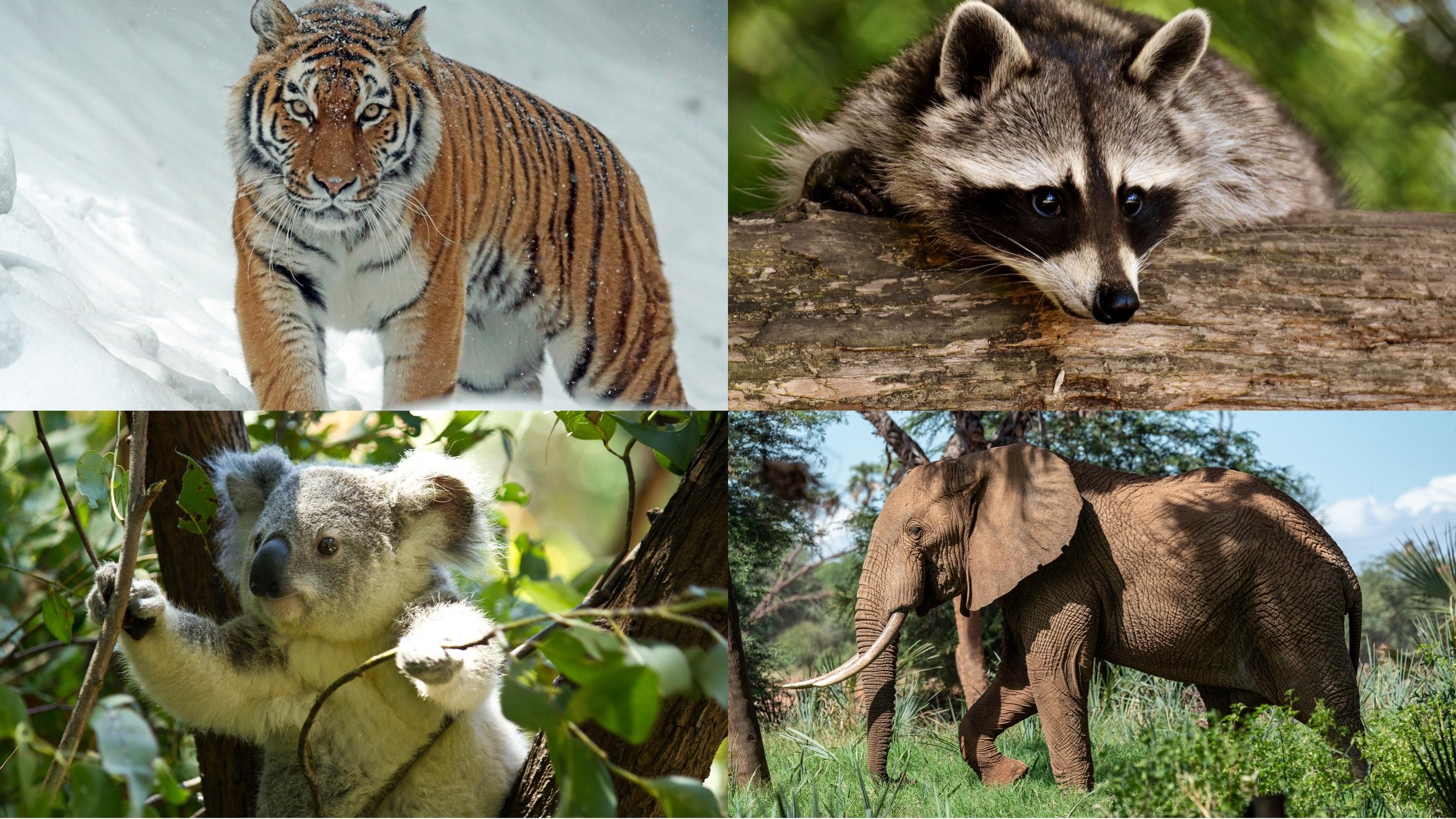 四柱推命で動物占い②【トラ、たぬき、コアラ、ゾウ】