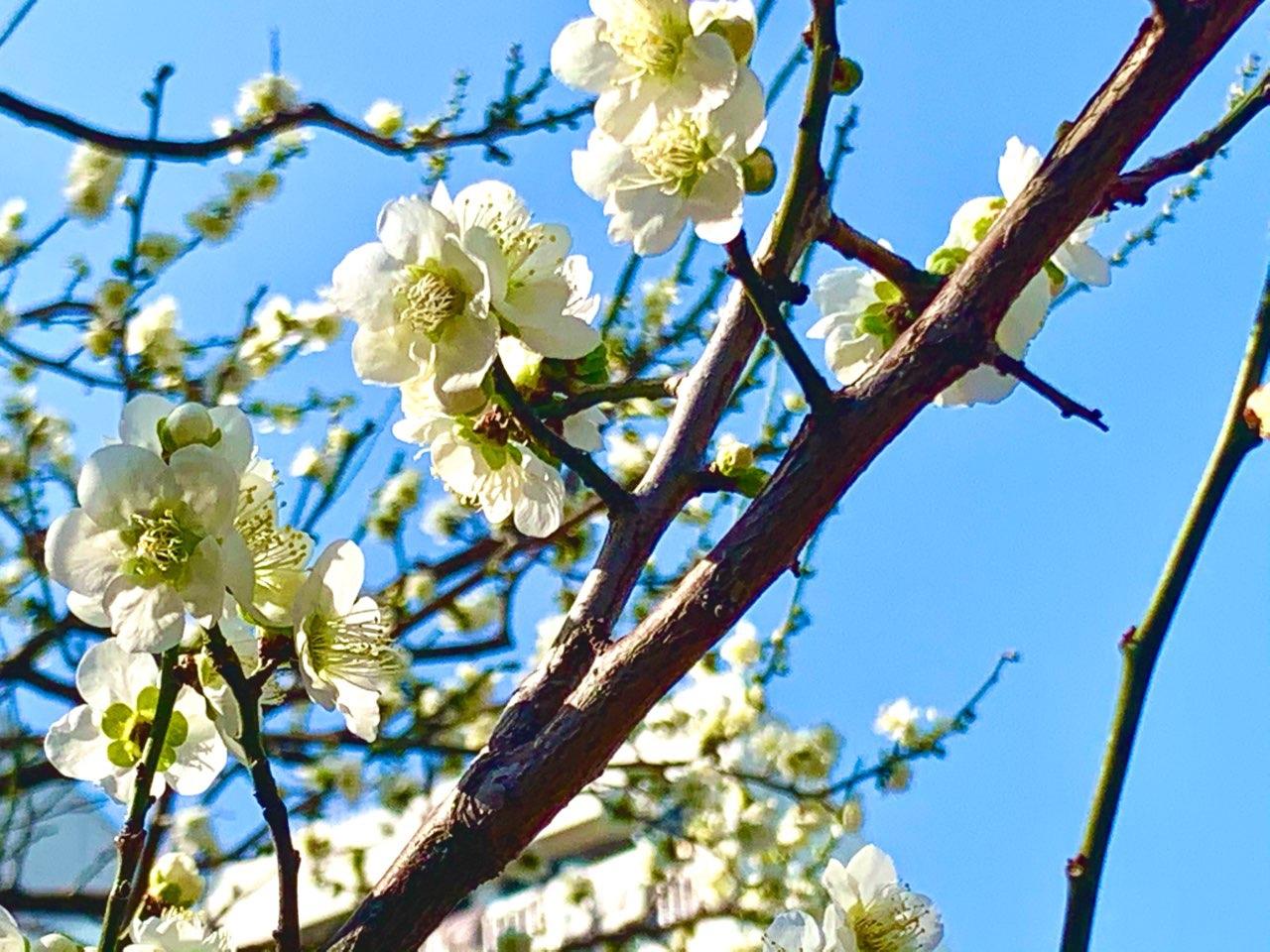 湯島天神で梅のお花見